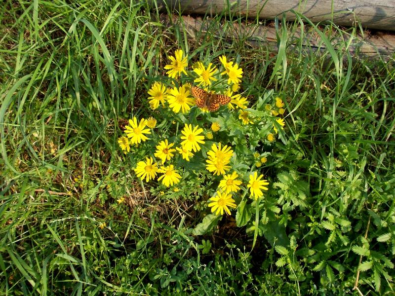 желтые садовые цветы с бабочкой на них