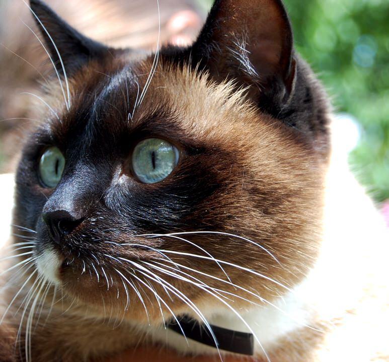 Как ухаживать за сиамскими кошками