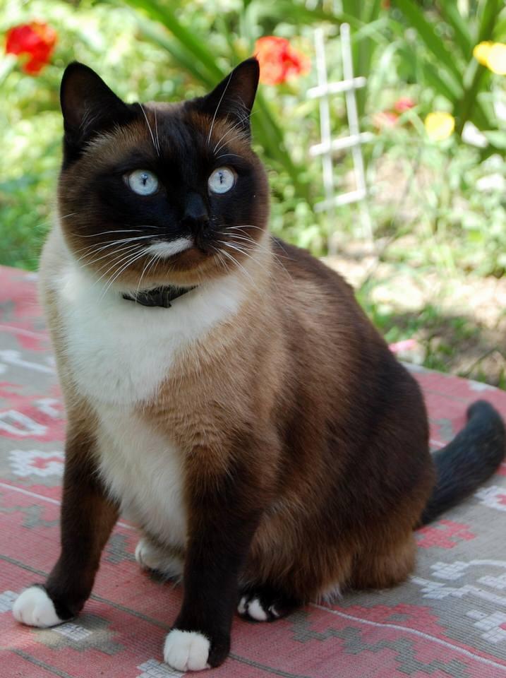 Как найти взаимопонимание с сиамской кошкой?