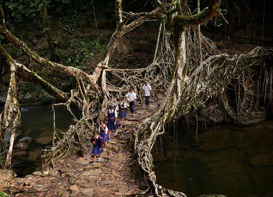 дорога детей через дикий лес, проход по мосту, образованном корнями деревьев - Индия
