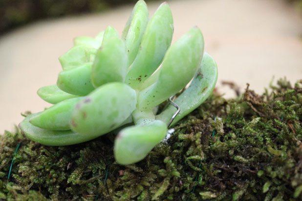 Очень деликатно проталкиваем готовые стебли суккулентов в проделанные углубления, аккуратно вставляем в мох флористические скобы-булавки, захватывая листик-два