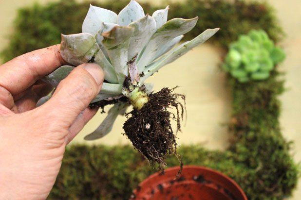 Если вы используете суккуленты с корнями, выньте их из контейнеров, аккуратно отряхните почву с корней, а корни оставьте на стебле