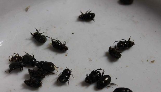 Мертвые сухие жуки для заливки в кулон