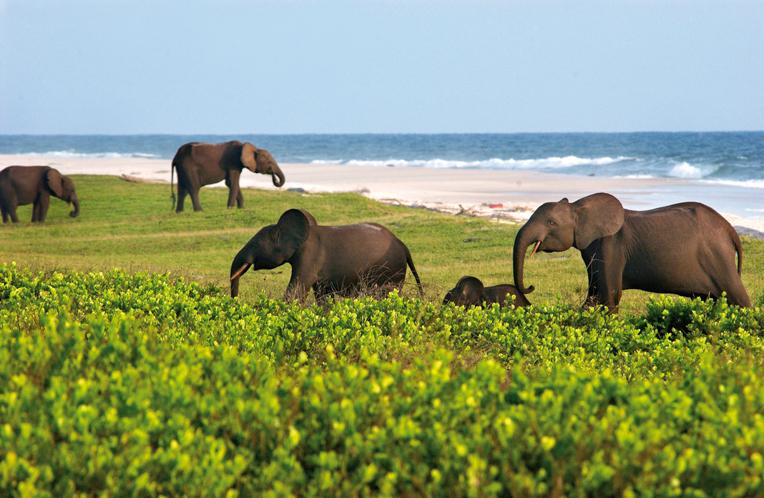 слоны у воды Габон, пляж Лоанго