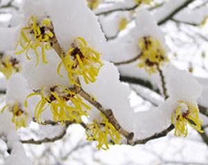 гамамелис с желтыми «цветками»