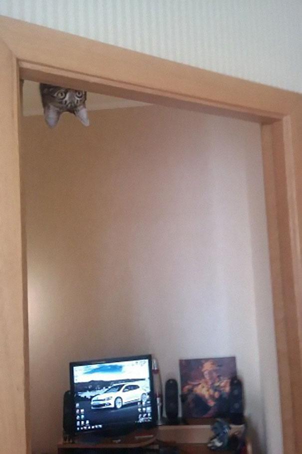 Кот-ниндзя: выглядывает вниз головой над дверным косяком
