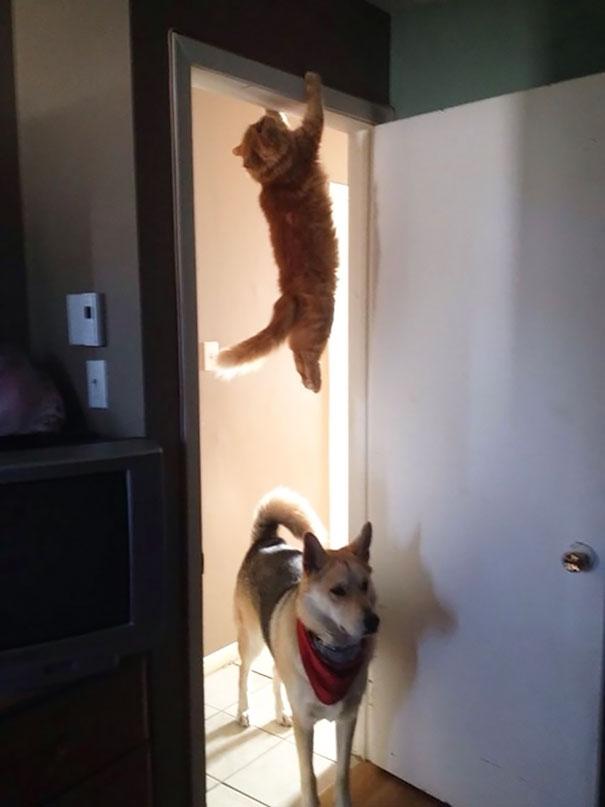 Кот-ниндзя: висящий на двух лапах на дверном косяке