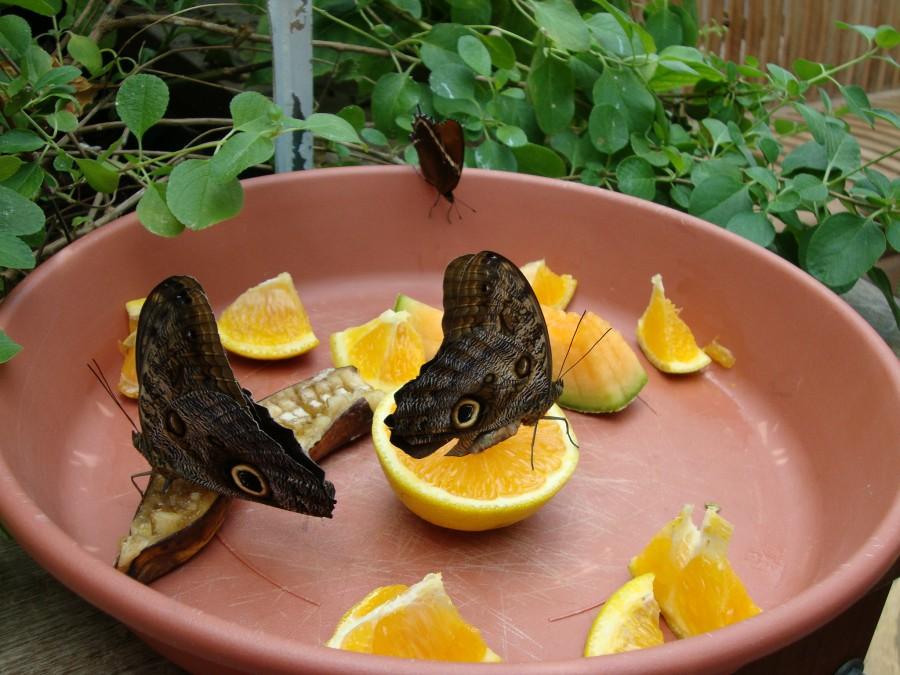 бабочки пьют из апельсина в кормушке на даче