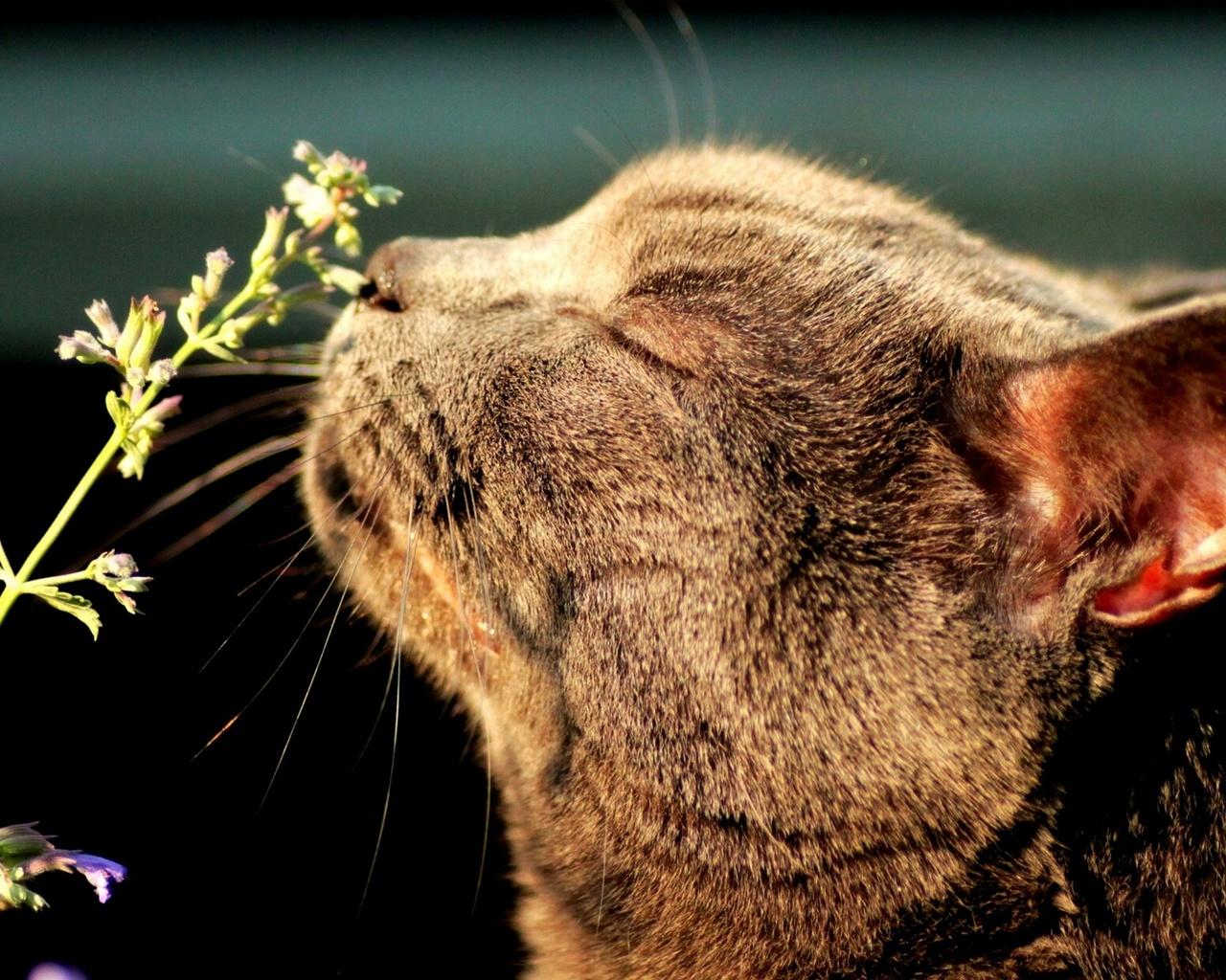 кот нюхает котовник кошачий