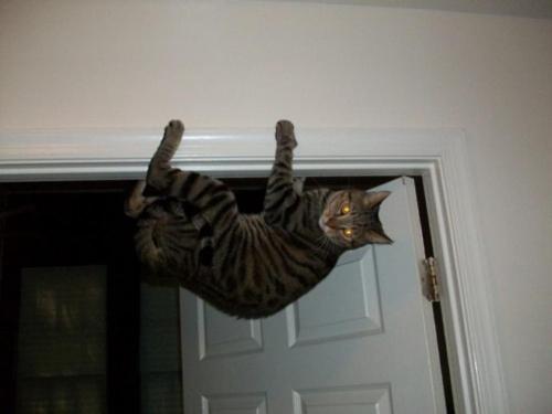 Кот-ниндзя: висит на дверном косяке вниз головой