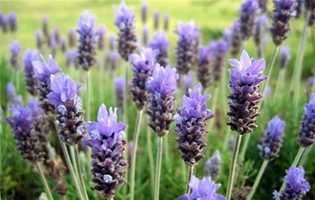 Ароматные цветы лаванды привлекательны для садовников, но вызывают отвращение у клещей