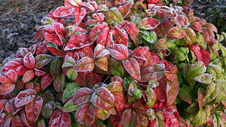 кустарники часто не сбрасывают листья и, как правило, меняют их цвет частично или полностью на различные вариации красного