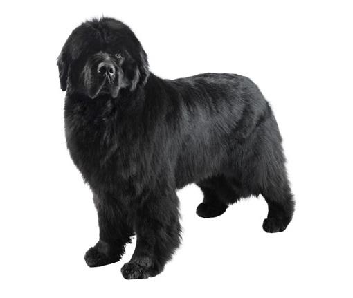 Как выбрать собаку крупной породы (Часть 2)