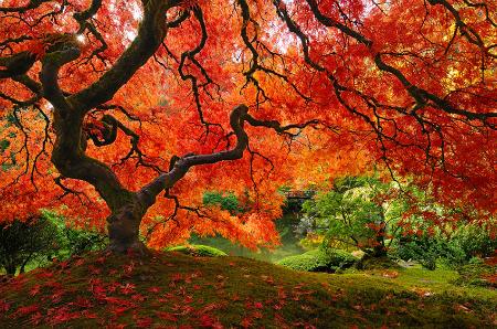 осень: роскошная красная крона