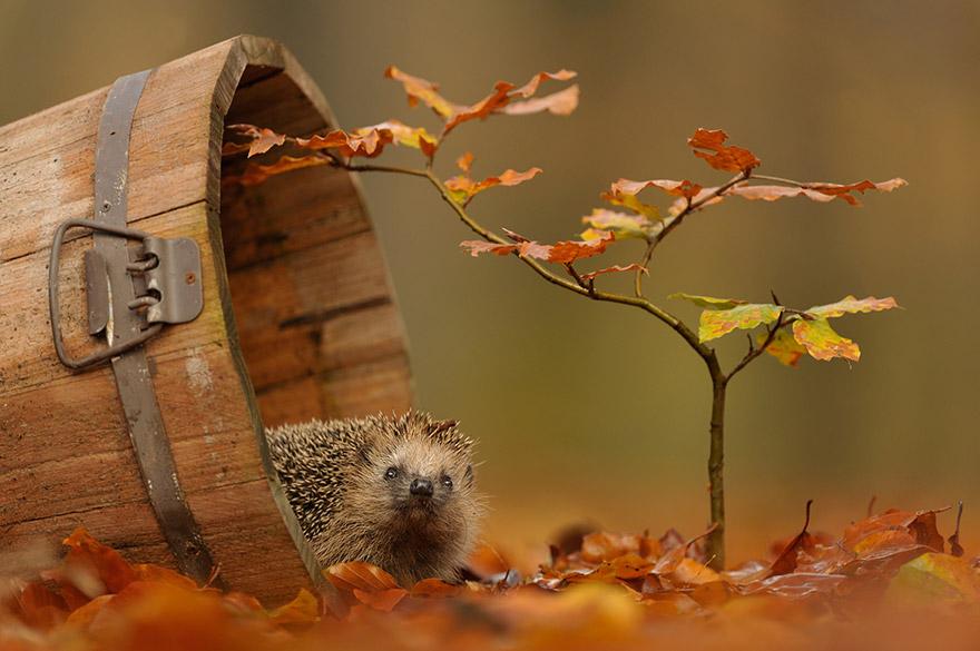 осень: ежик в ведре на ярких листьях