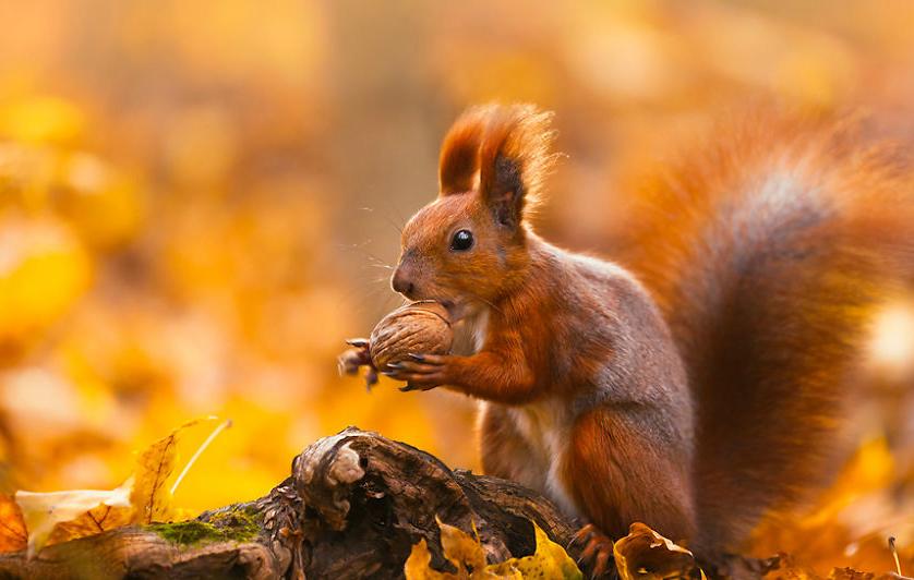 осень: белка с орехом