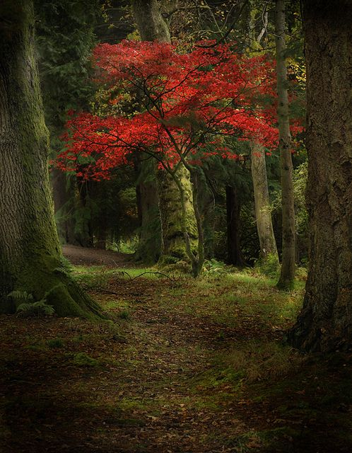 осень: красное дерево посреди елок, мистика, сюр