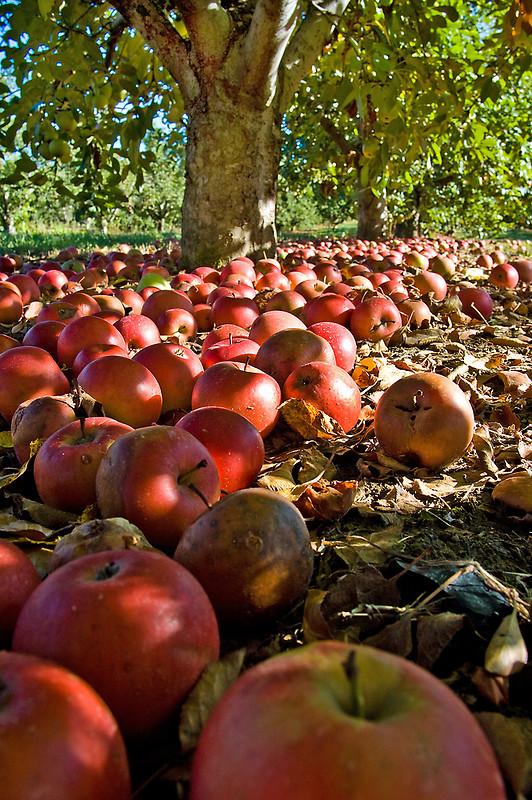 осень: яблоки на земле