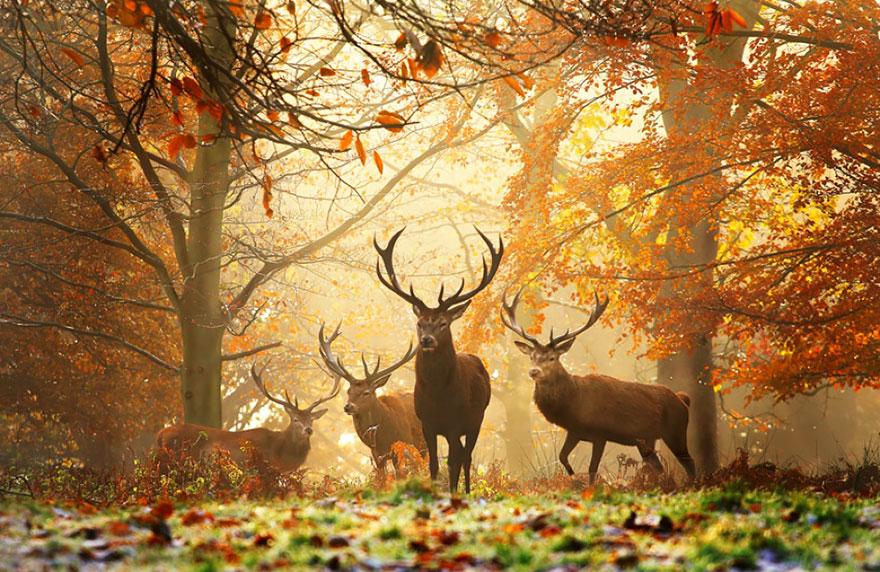осень: олени в тумане среди ярких желтых листьев