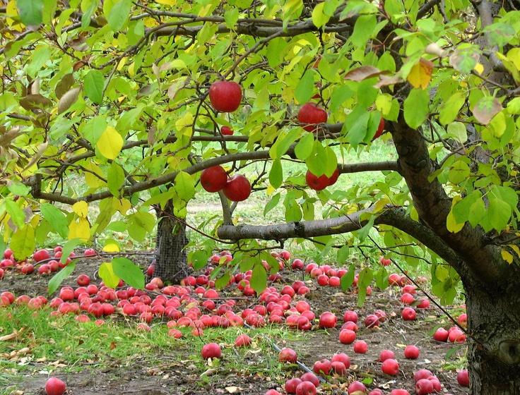 осень: яблоки