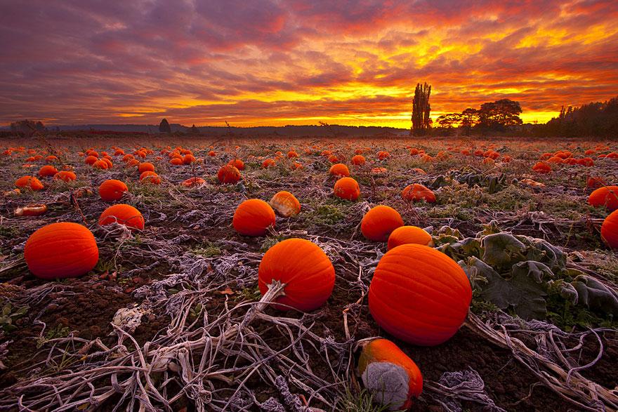 осень: поле с тыквами
