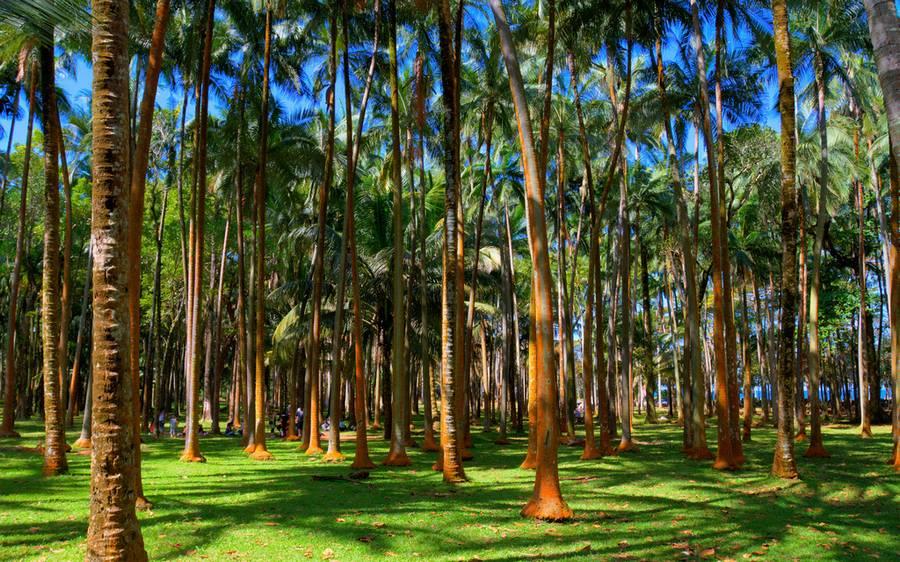природные контрасты острова Реюньон: пальмовая роща
