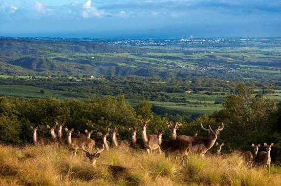 стадо диких оленей на острове Реюньон