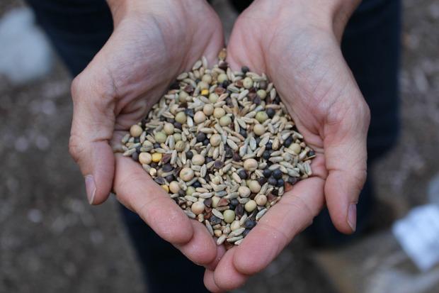 Зерновые для защитного слоя («cover crops»)