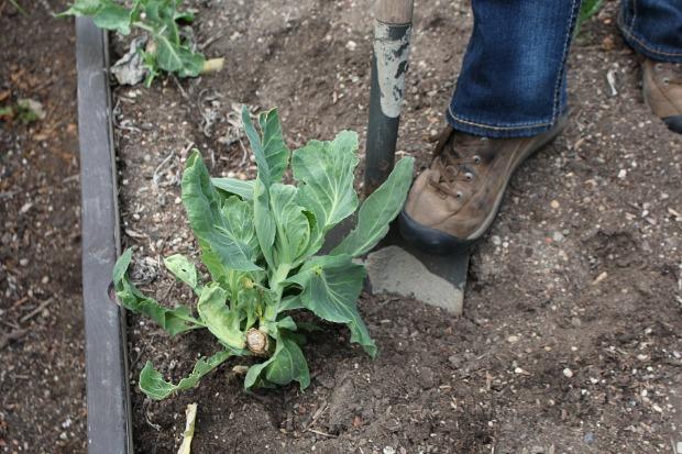 выкопайте отслужившие свое растения из сада и огорода