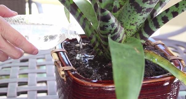 Заканчиваем работу, снова поливая растение сверху водой - немного