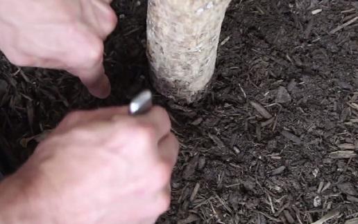Ножом и столовой ложкой проделываем рядом с растением в земле хорошее углубление