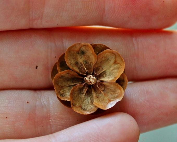 Также отдельно откусываем самую верхушку шишки, напоминающую цветок