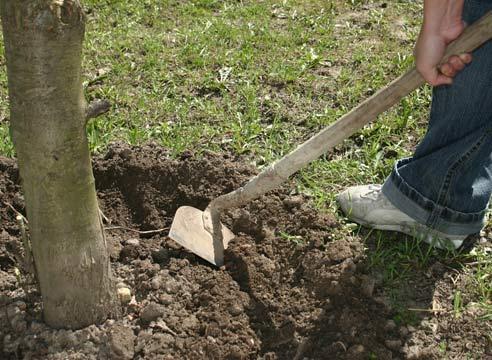 мужчина перекапывает мотыгой землю вокруг дерева