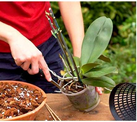 Как правильно пересаживать орхидею?