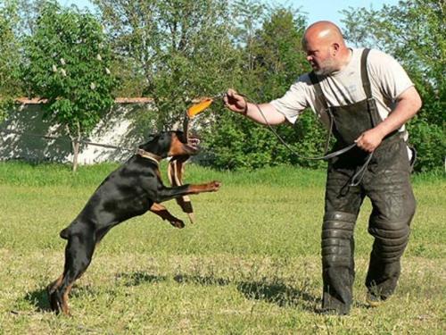 тренироска собаки добермана натаскивать