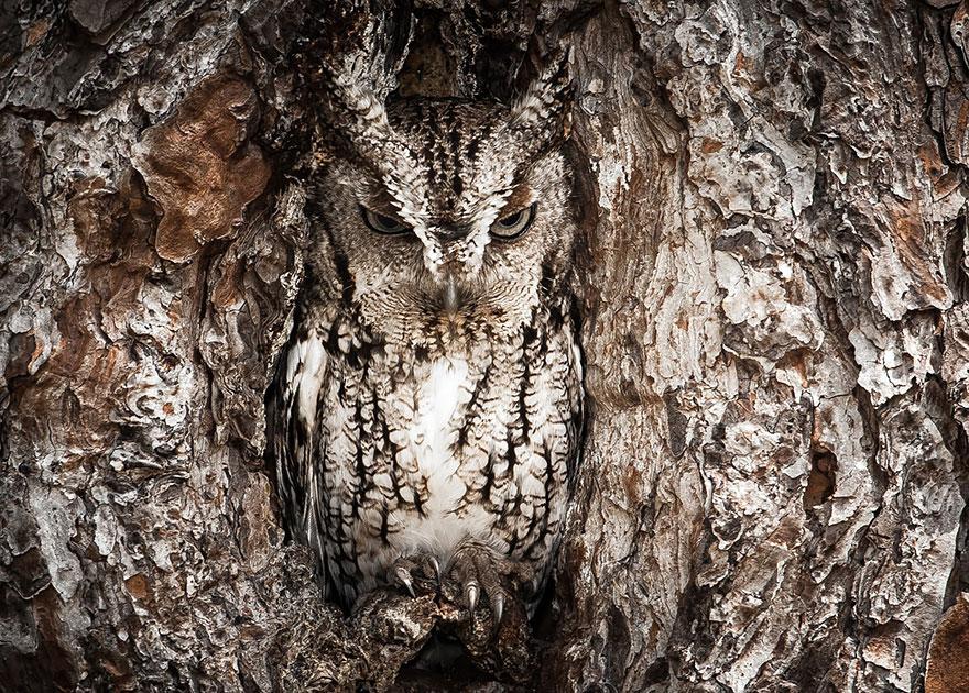 Как совы маскируются на местности: в дупле