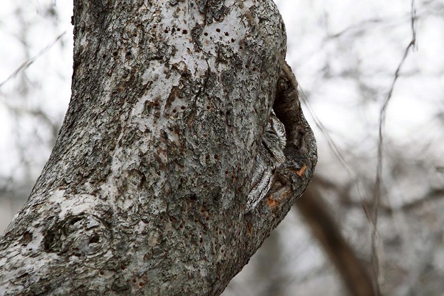 Как совы маскируются на местности: на фоне коры и сука