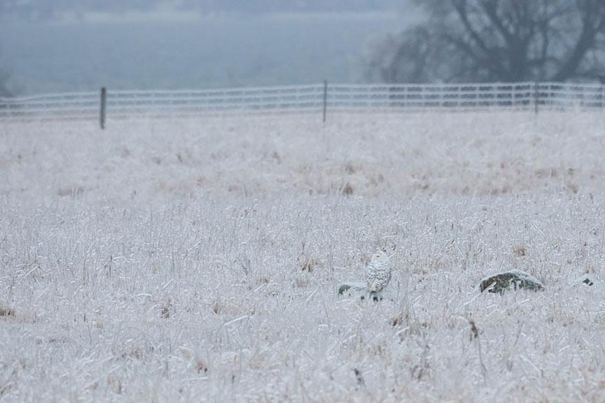 Как совы маскируются на местности: сова в поле