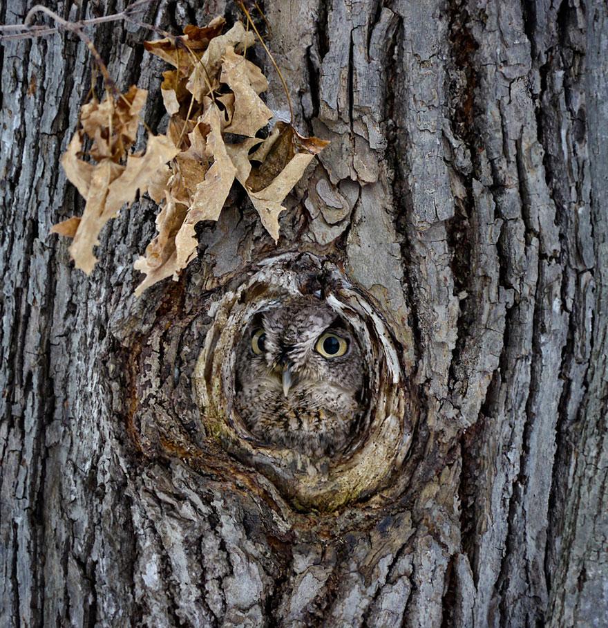 Как совы маскируются на местности: в маленьком дупле