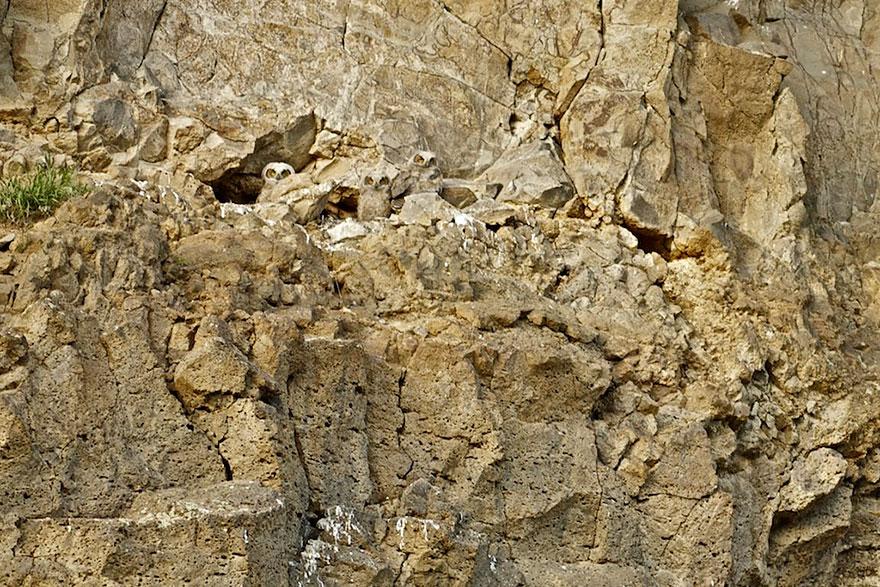 Как совы маскируются на местности: среди скал