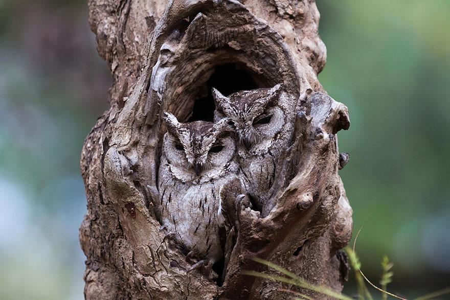 Как совы маскируются на местности: две совы в дупле