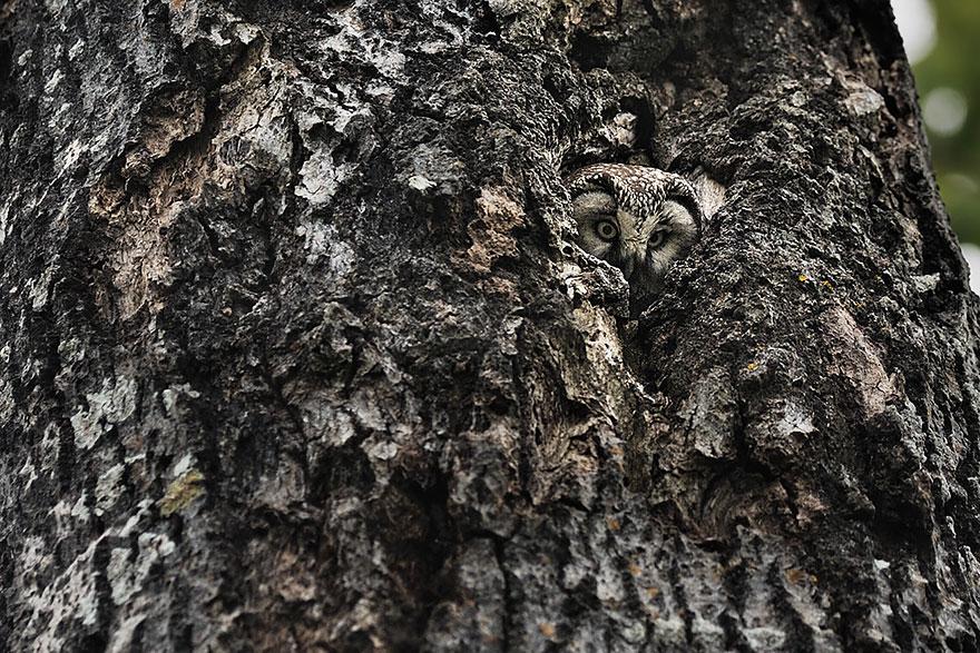 Как совы маскируются на местности: на фоне коры дерева