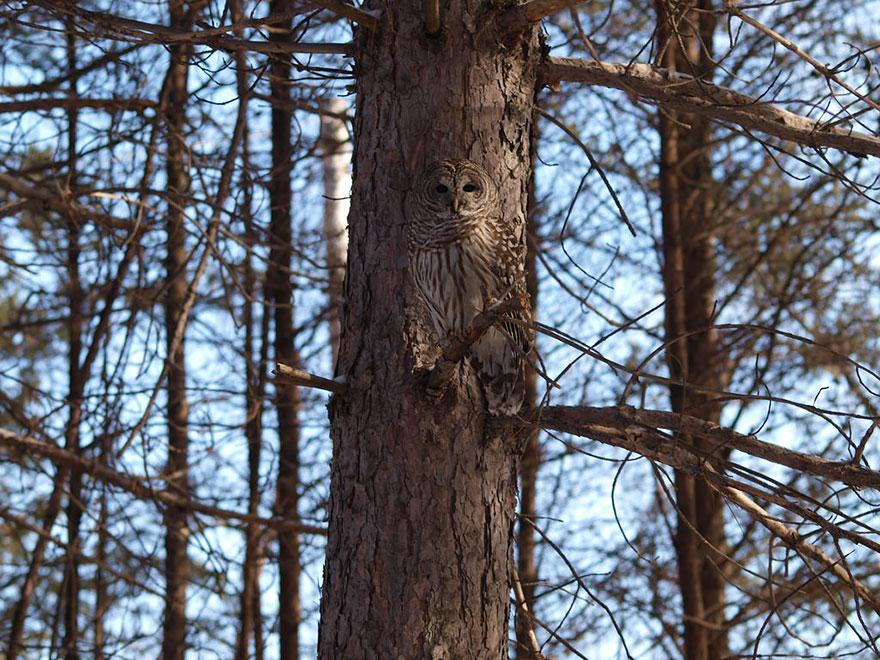 Как совы маскируются на местности: на фоне дерева