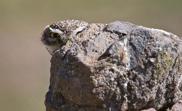 Как совы маскируются на местности: за камнем