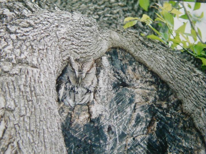 Как совы маскируются на местности: около коры