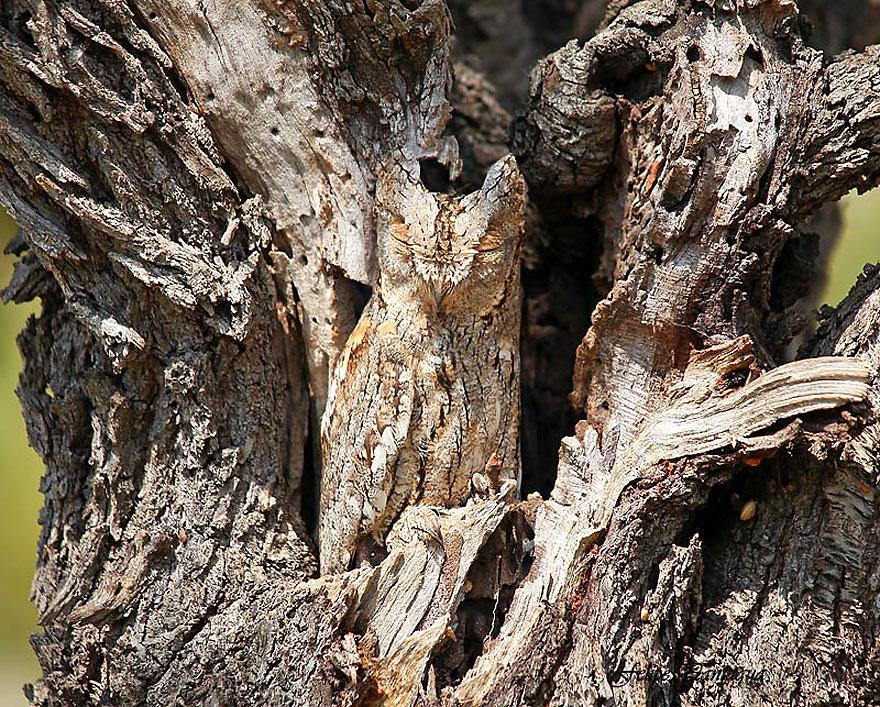 Как совы маскируются на местности: сивается с расщепленным деревом