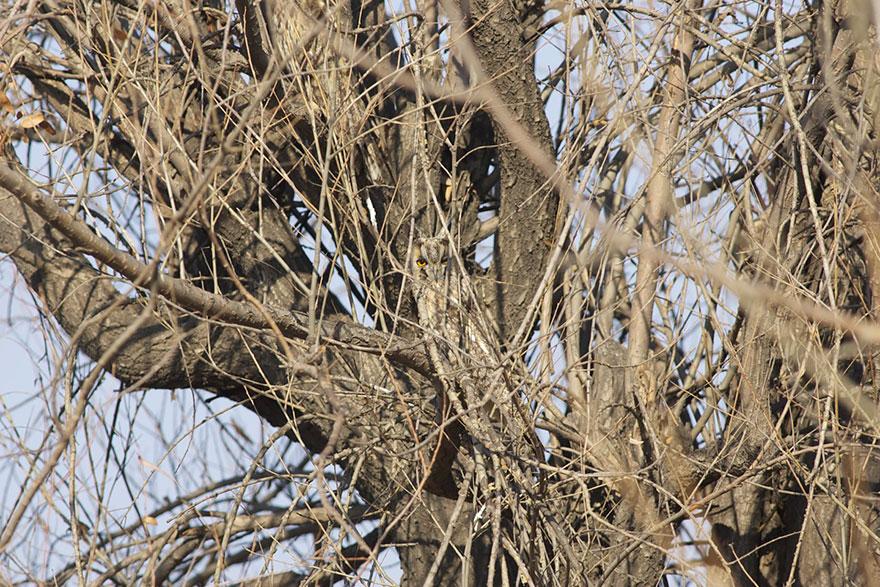 Как совы маскируются на местности: сливается с ветками