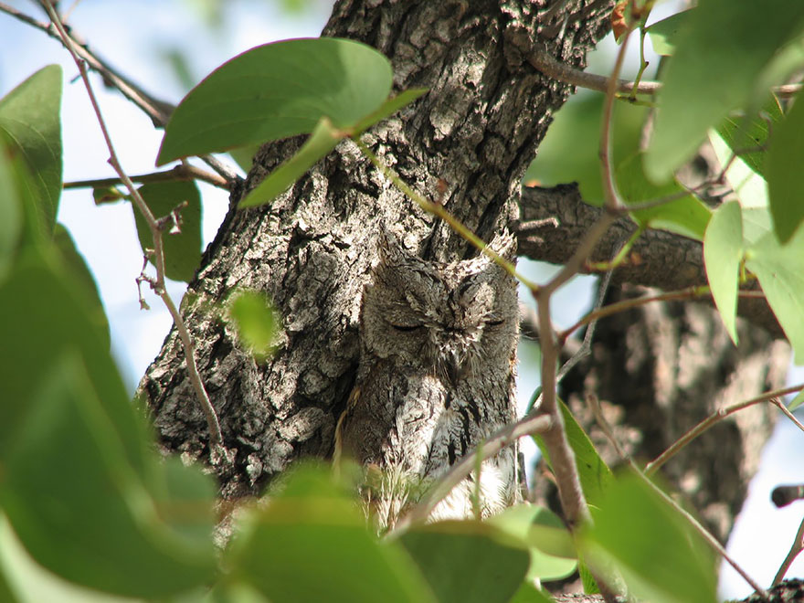 Как совы маскируются на местности: сливается с корой