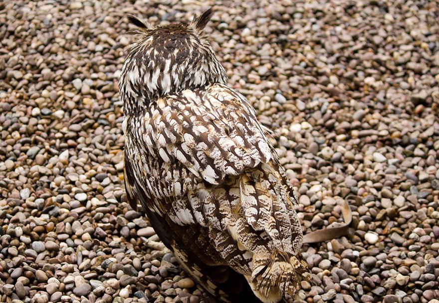 Как совы маскируются на местности: сливается с галькой
