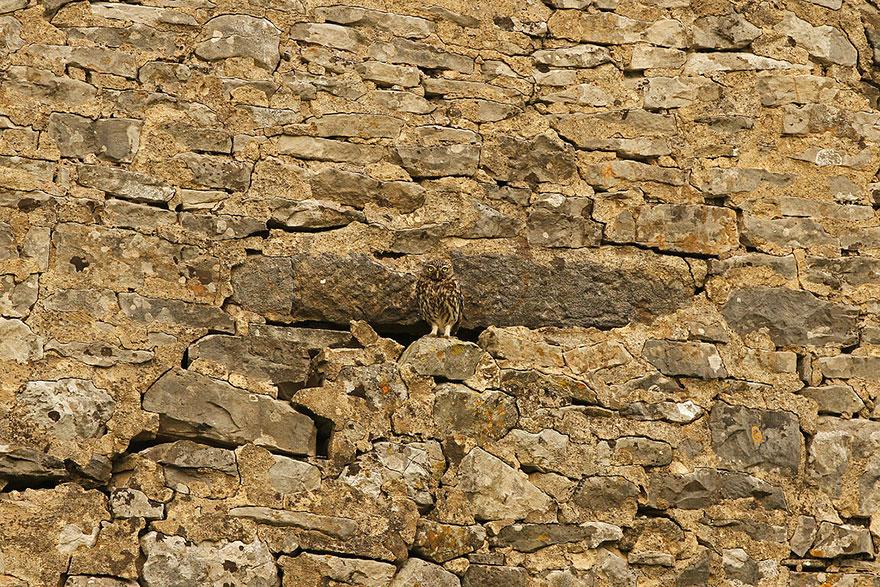 Как совы маскируются на местности: сливается со стеной